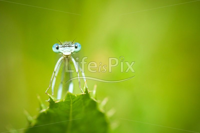 Blue Damselfly on a leaf – Royalty free stock photos, illustrations and 3d letters fonts