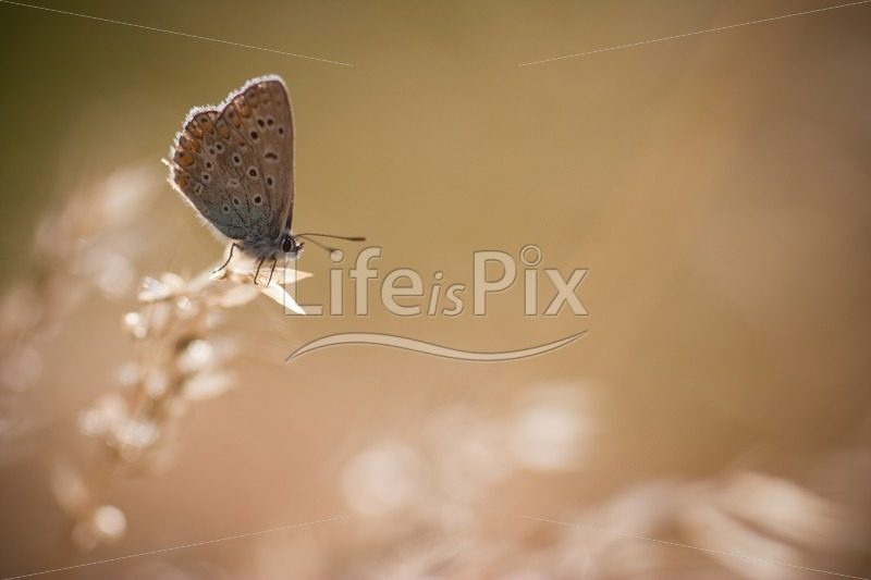 Butterfly in the morning light – common blue – Polyommatus icarus - Royalty free stock photos, illustrations and 3d letters fonts