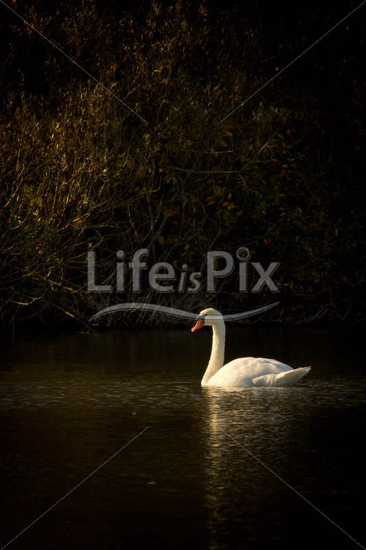 Graceful swan on a lake - Royalty free stock photos, illustrations and 3d letters fonts
