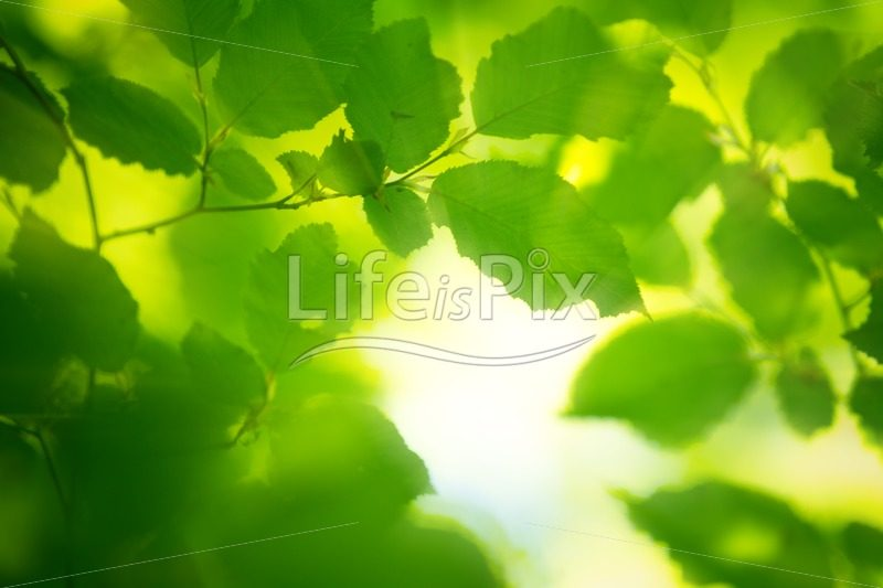 Green leaves in the morning light - Royalty free stock photos, illustrations and 3d letters fonts