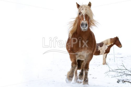 Horse galloping in snow - Royalty free stock photos, illustrations and 3d letters fonts