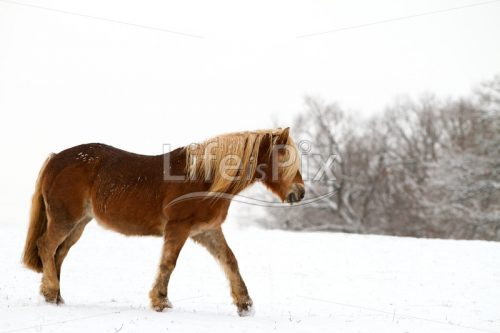 Horse in winter - Royalty free stock photos, illustrations and 3d letters fonts