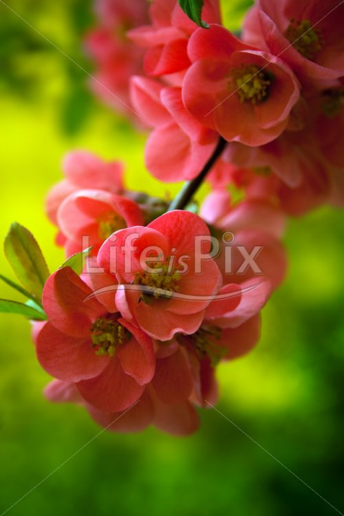 Japenese flowering crabapple - Royalty free stock photos, illustrations and 3d letters fonts