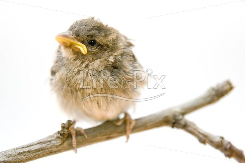 Little Bird on a branch - Royalty free stock photos, illustrations and 3d letters fonts