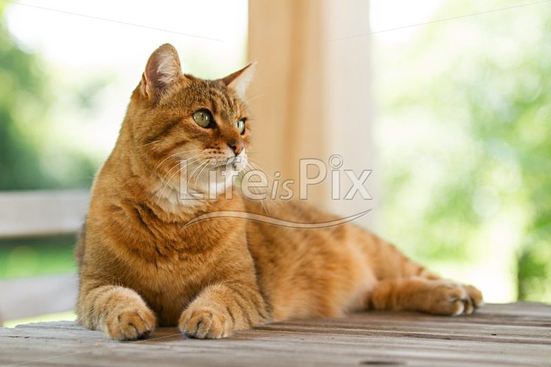 Lovely red cat on wooden table – Royalty free stock photos, illustrations and 3d letters fonts
