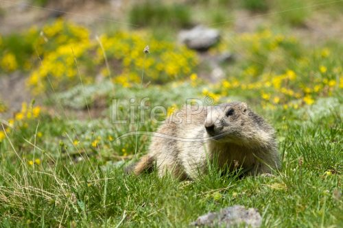 Marmot in a prairie looking curiously - Royalty free stock photos, illustrations and 3d letters fonts