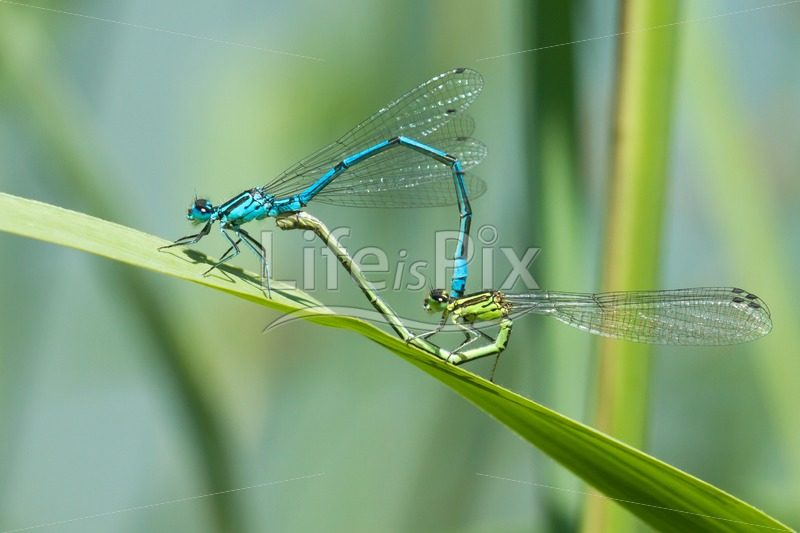 Mating of a pair of dragonflies - Royalty free stock photos, illustrations and 3d letters fonts