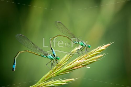 Pair of Common Blue Damselflies – Royalty free stock photos, illustrations and 3d letters fonts