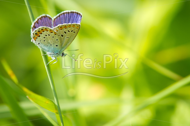 Polyommatus Icarus butterfly in nature - Royalty free stock photos, illustrations and 3d letters fonts