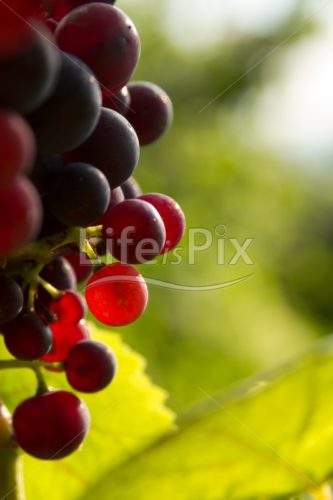 Red grapes in sunset light - Royalty free stock photos, illustrations and 3d letters fonts