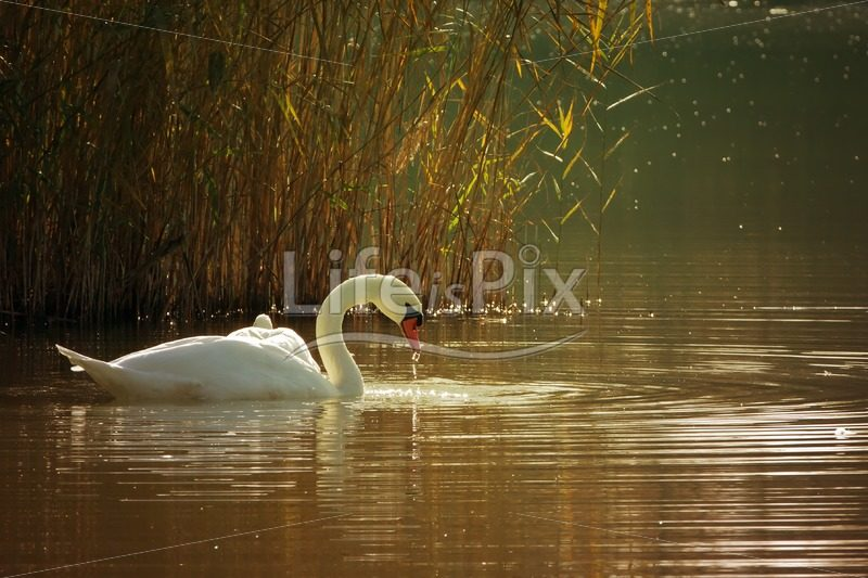 Swan on a pond - Royalty free stock photos, illustrations and 3d letters fonts
