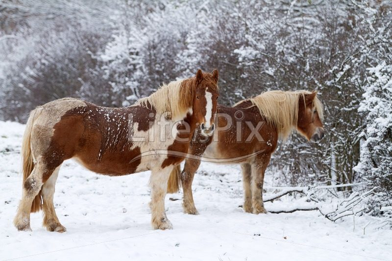 Two horses in a snowy landscape - Royalty free stock photos, illustrations and 3d letters fonts