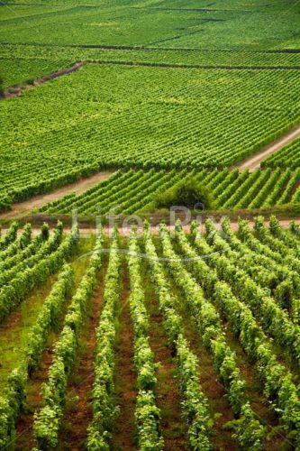 Vineyards in Burgundy France – Royalty free stock photos, illustrations and 3d letters fonts