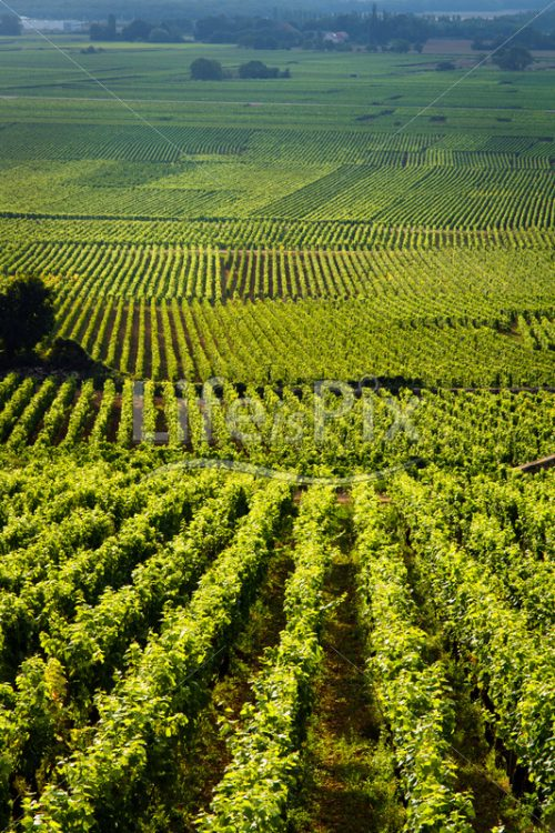 Vineyards in Gevrey chambertin – burgundy – France - Royalty free stock photos, illustrations and 3d letters fonts