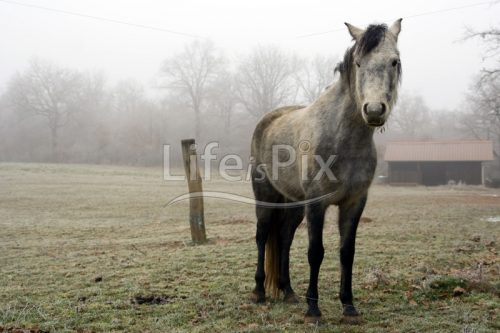 Vintage horse in a foggy landscape - Royalty free stock photos, illustrations and 3d letters fonts