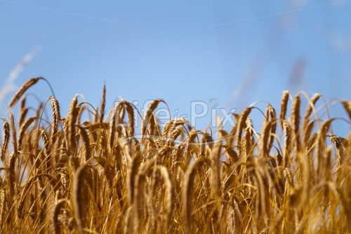 Wheat field and blue sky – Royalty free stock photos, illustrations and 3d letters fonts
