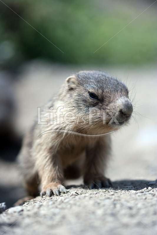 baby marmot in the french alps