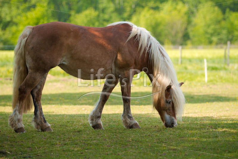 blond Horse in a prairie - Royalty free stock photos, illustrations and 3d letters fonts