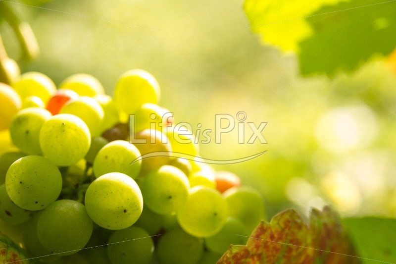 green grapes in sunset light – Gevrey Chambertin – France - Royalty free stock photos, illustrations and 3d letters fonts