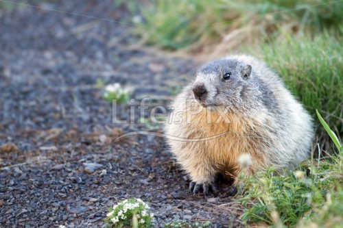 marmot in french alps – Wildlife image - Royalty free stock photos, illustrations and 3d letters fonts