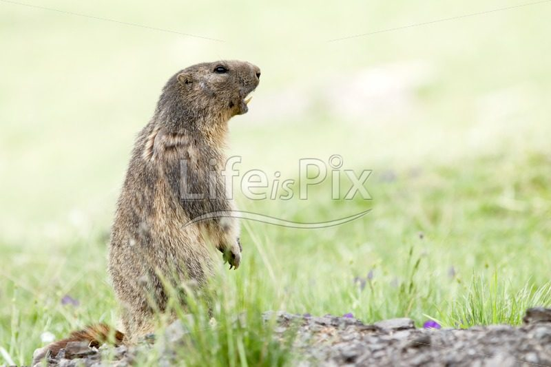 marmot in the french alps - Royalty free stock photos, illustrations and 3d letters fonts