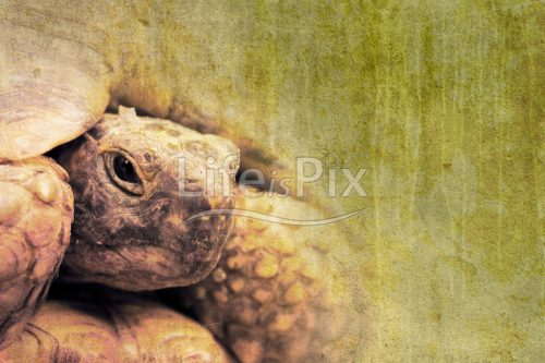 old tortoise on grunge background - Royalty free stock photos, illustrations and 3d letters fonts