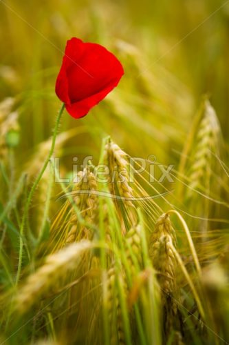 poppy flower in a barley field –  Papaver rhoeas - Royalty free stock photos, illustrations and 3d letters fonts