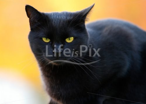 portrait of a black cat – Royalty free stock photos, illustrations and 3d letters fonts