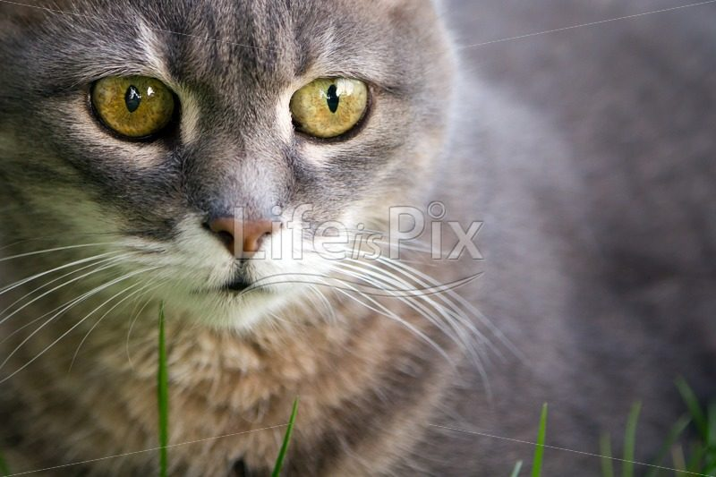 portrait of a cat – Royalty free stock photos, illustrations and 3d letters fonts