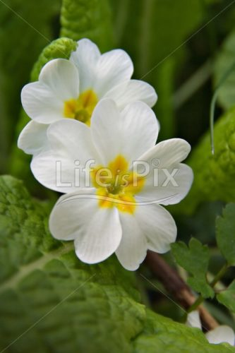 primula - Royalty free stock photos, illustrations and 3d letters fonts