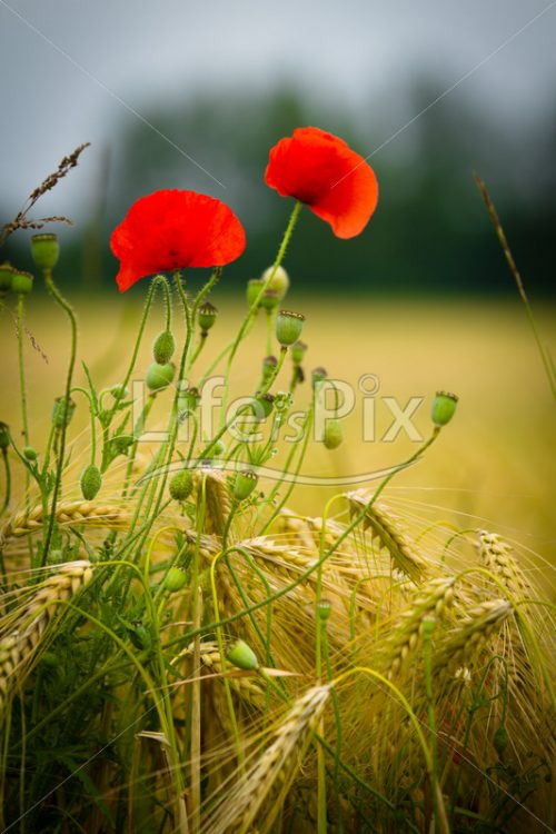 red poppy in a barley field - Royalty free stock photos, illustrations and 3d letters fonts