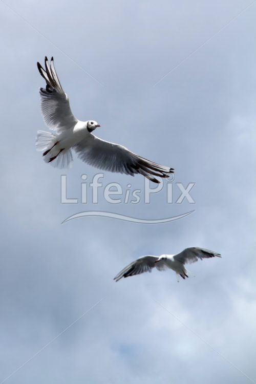 seagull, soaring under sky - Royalty free stock photos, illustrations and 3d letters fonts