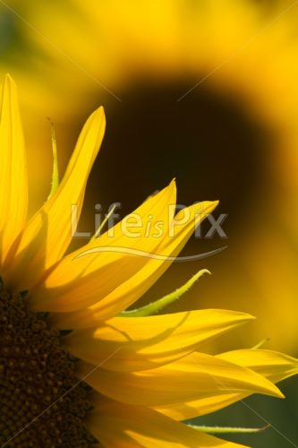 sunflower in summer - Royalty free stock photos, illustrations and 3d letters fonts