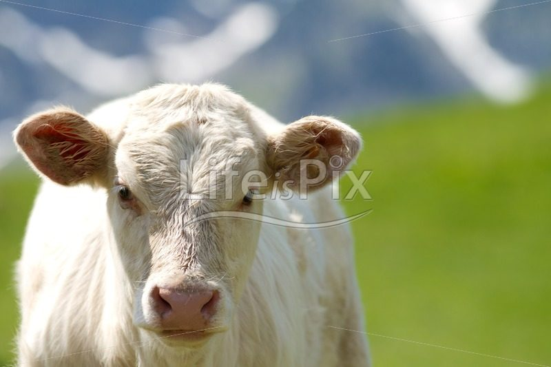 white calf in the french Alps - Royalty free stock photos, illustrations and 3d letters fonts